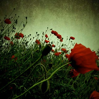 poppies | by __o__