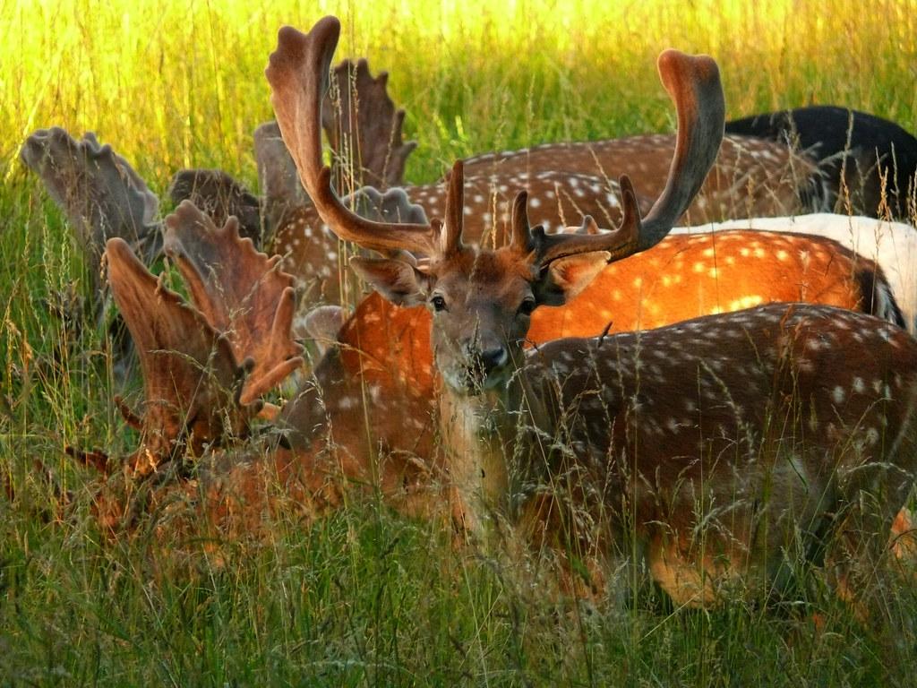 Deer Park Deers Deer in Deer Park Bakken