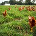 Triple S Farms - laying hens