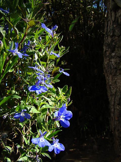 Lobelia Erinus Blue Moon The Only Blue Flowers In My