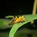 Spiky wasp treehopper (Heteronotus cf maculatus), Peru
