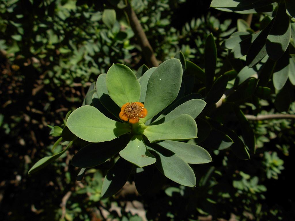 pedras jardim botanico:Euphorbia balsamifera