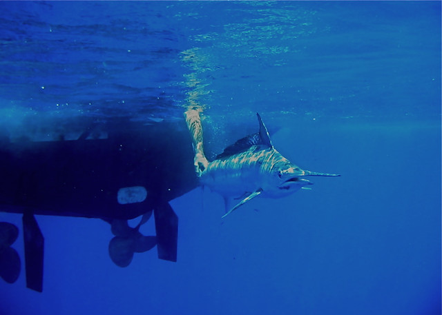 Underwater Marlin Release | A black marlin is released ...