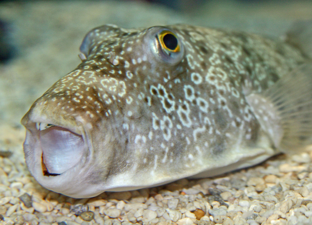 Big mouth fish fish at ripley 39 s aquarium in gatlinburg for Big mouth fish
