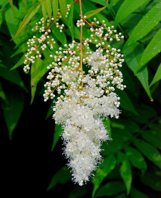 White fluffy flowering bush the little balls are just star flickr white fluffy flowering bush by paulphotosmoody mightylinksfo