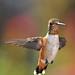 Angelic Male Allen's Hummingbird