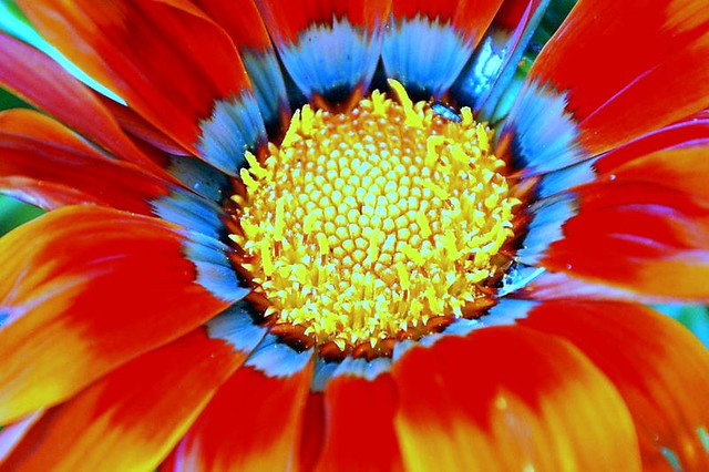 Redblue And Yellow Flower Michael Flickr