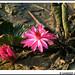 Lotus In Dirt