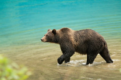 Alaskan Coastal Brown bear.....12 | by Alan Vernon.