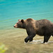 Alaskan Coastal Brown bear.....12