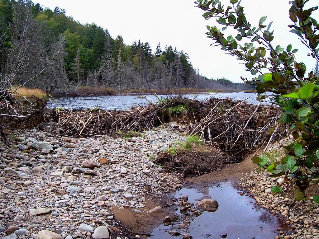 Eager beaver dam construction ducks unlimited pond campobe for Pond dam design