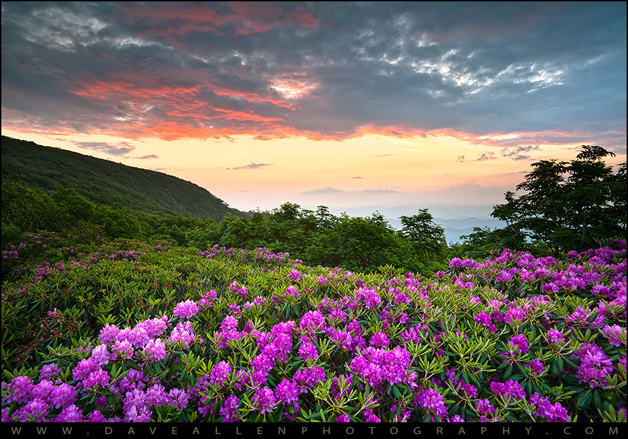 Blue Ridge Parkway Craggy Gardens Rhododendron Bloom Flickr