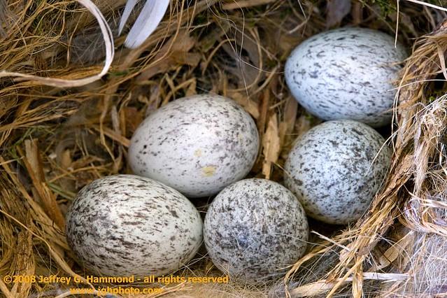 House Sparrow eggs   House sparrow eggs in nest. This nest ...