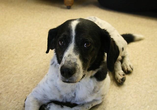 Australian Shepherd Blue Heeler Mix | Dog Breeds Picture