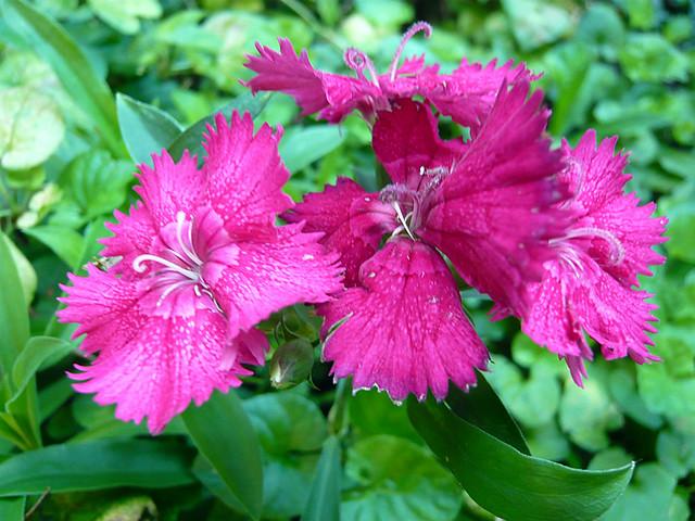 oeillet de chine au fond de mon jardin fleurissent les. Black Bedroom Furniture Sets. Home Design Ideas