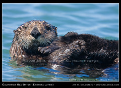California Sea Otter (Enhydra lutris) | by jimgoldstein