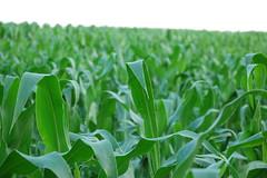 Corn Field by Rastoney on Flickr