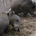 Sus scrofa - wild boar, wild sow with piglet