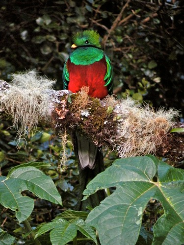 Resplendent Quetzal - close-up | by victoriaporter (here - always behind)