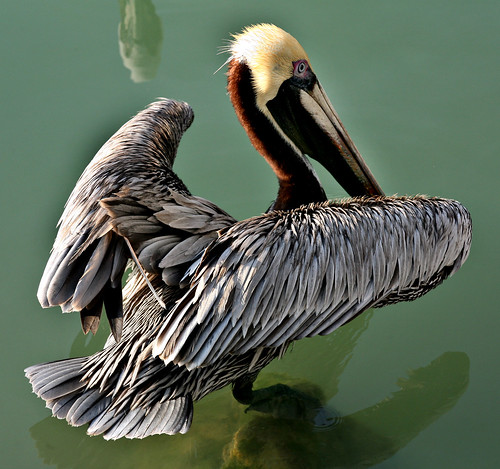 Pelican_39 | by PHOTOFLUSA