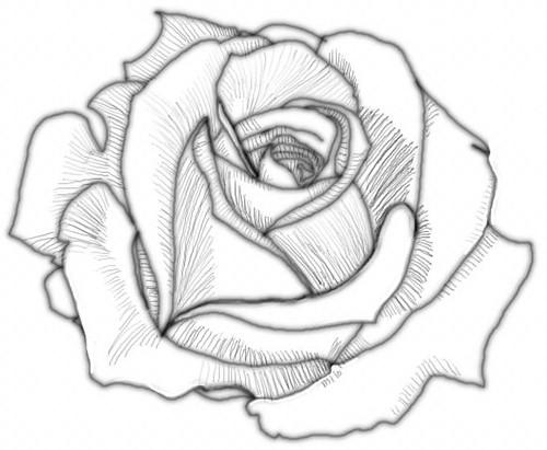 Rose Values #4 | Part of a digital rose drawing tutorial I ...  Rose Values #4 ...