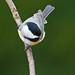 Poecile carolinensis (Carolina Chickadee)