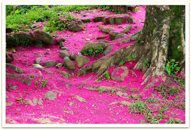 Manzana de agua blossom   Nicaragua 2004.   Stephen Davies ...