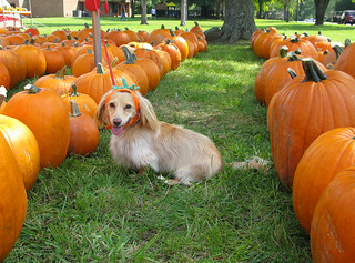 A pumpkin dog amongst the pumpkins | by Doxieone