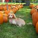 A pumpkin dog amongst the pumpkins