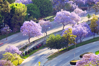 jacarandas in full bloom, downtown Los Angeles, California | by lumierefl