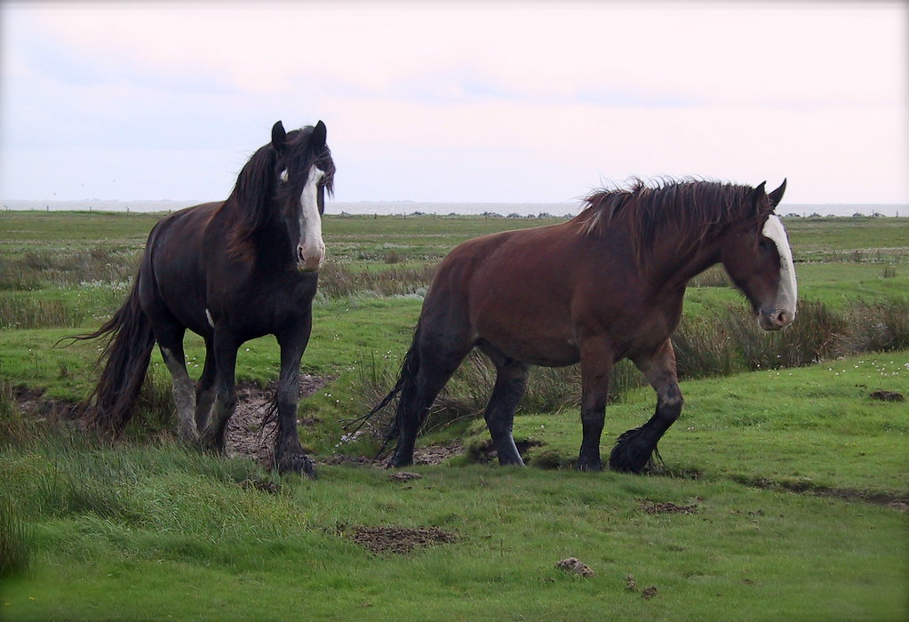 """Cars For Free >> Shire horses on Juist 