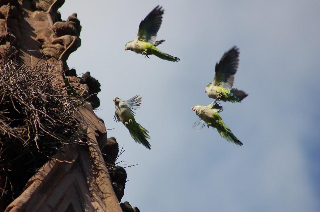 photo essay wild parrots of brooklyn Wild quaker parrots brooklyn new york write a review add photo see all 1 reviews of wild quaker parrots brooklyn new york know better book better go better.
