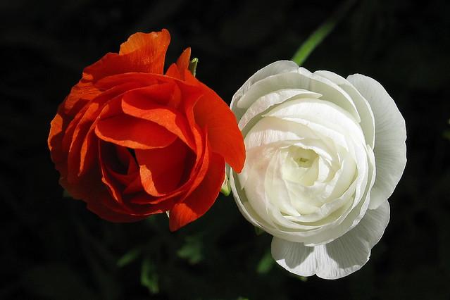 Rot Weiss Blumen 2007 Karsten Adelmann Flickr