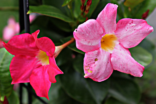 Barbers' Garden 2008: Mandevilla | by bill barber