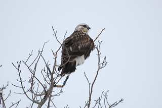 Rough-legged Hawk DSC_0061 | by Ron Kube Photography