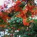 Gulmohar/Mayflower blooms