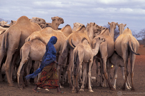 Woman herding camel | by World Bank Photo Collection