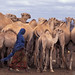 Woman herding camel