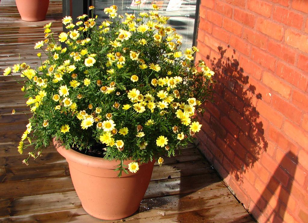 un pot de fleur rempli de petites fleurs jaunes a pot ful flickr. Black Bedroom Furniture Sets. Home Design Ideas