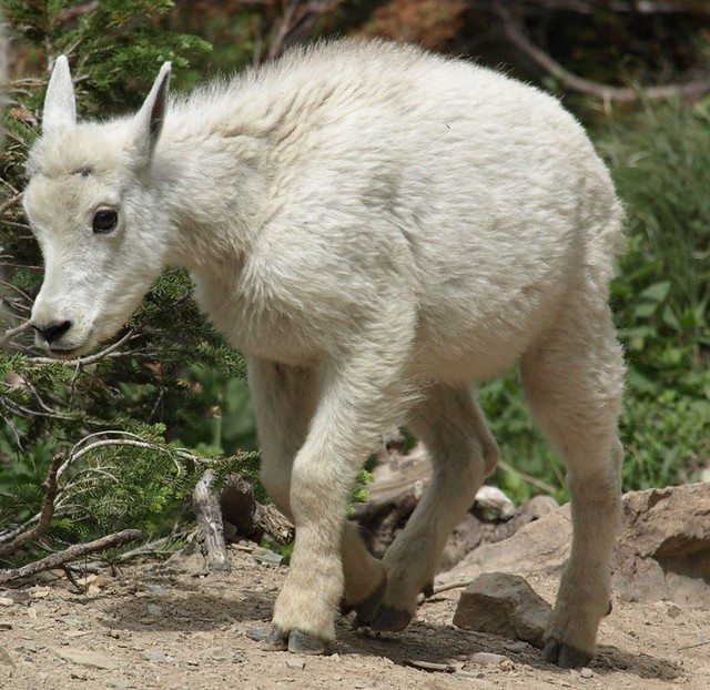 Baby mountain goat  Cutest thing EVER Baby Mountain Goat