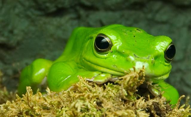 Chinese Gliding Frog | en.wikipedia.org/wiki/Rhacophorus_den… | Flickr