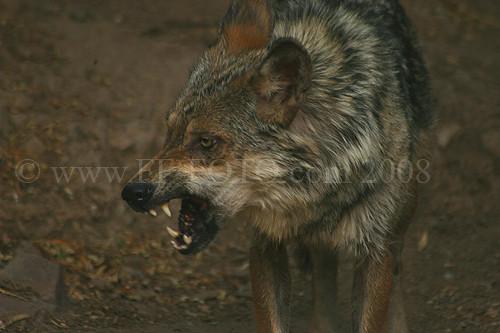 angry grey wolf - photo #22