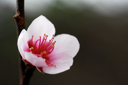 Early peach flower | by Jason Dinh Ba Thanh