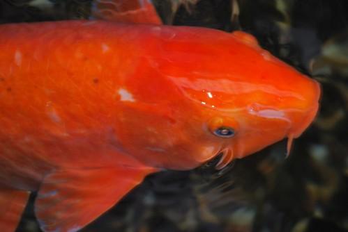 Orange koi carp taken at shukugawa railway stn lol daz for Carpe koi orange
