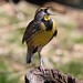columbus zoo (eastern meadowlark)