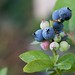 Blueberries in the garden