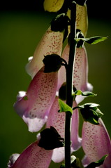 from back of a foxglove