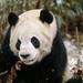 25017167-Panda