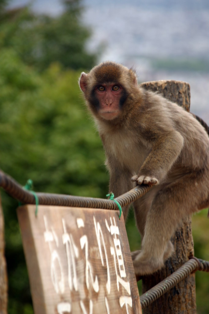 Iwatayama Monkey Park  I dont think youre supposed to ...