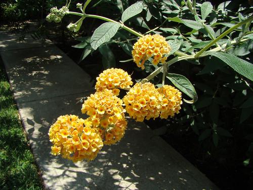 Buddleja Davidii Honeycomb By Mondomuse